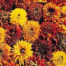50 Pcs Seeds Rudbeckia Cherokee Sunset – Perennial HH01 - $13.99