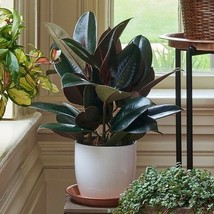 Evergreen Ficus Tree Plant Burgundy Rubber Lovely Decor Garden Patio Hom... - $23.68
