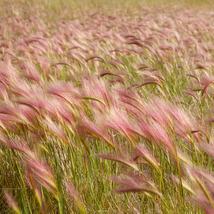 Foxtail Barley (Hordeum Jubatum) 25 Flower Seeds - $12.98