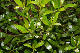 3 Gallon Potted Plant Inkberry Holly Ilex Evergreen Landscaping Holly Bush - $130.99