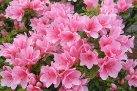 Azalea Rhododendron Coral Bells Pint Plant FREE SHIPPING - $17.81