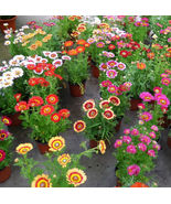 Colorful Small Pot Seeds Chrysant Chrysanthemum Garden Flowers 50 Seeds  - $5.00