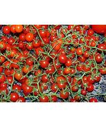 100 Seeds World's Smallest Tomato Spoon Currant Tomato Super Sweet TkPay... - $79.20