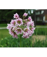 20 Sicilian Honey Lily Seed Mediterranean bells ,Allium siculum (SEED NO... - $12.25
