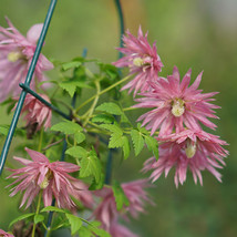 "4"" Pot - SPARKY Pink Clematis - Proven Winners - Home and Garden - tkhit - $58.00"