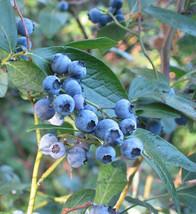 100 Seeds of Blueberry Highbush, Vaccinium corymbosum -ds - $9.90