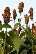 SHIPPED FROM US 100 Della Sorghum Bicolor Syrup Flour Vegetable Seeds, LC03 - $15.00