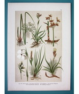 BOTANICAL PRINT 1896 Color Litho - Wood Rush Cotton Grass Tufted Sedge - $16.83