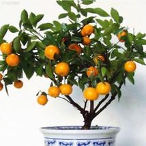 E13C 30Pcs Edible Fruit Citrus Orange Tree Seeds Planting Bonsai Home Ga... - $2.20