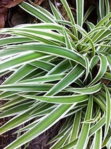 2 Bare Root of Live Varigated Spider Plants Nature's Air Cleaner Organic Plants - $47.52
