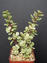 "SHIP From US, 2"" pot PORTUCALARIA AFFRA, succulent plant cacti EC - $33.99"