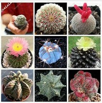 Bonsai Flowers Indoor Fleshier Plant Lithops Succulent 100 Seed - $3.53