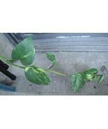 "Golden Pothos, Devil's Ivy, Epipremnum Plant, 8"" - 10"" Unrooted Cuttings... - $8.81"