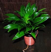"4"" Pot  Dracaena Janet Craig Compacta 'JCC' Shipped Easy Houseplant Trop... - $35.19"