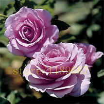 BEST PRICE 200 Seeds rose flower plants for home & garden,FS DIY Flower ... - $6.99