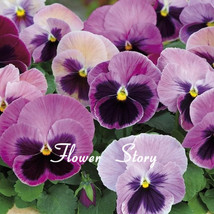 30 Purple Pansy Seeds--Easy Growing and Long Lasting Annual Hardy Garden... - $8.28