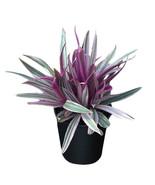 Afranda Plant sample item