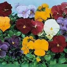 50 Pansy (Clear Crystal Mix) Seeds - $6.93