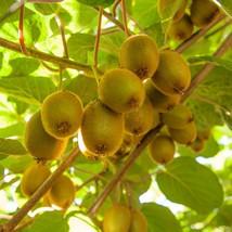 Actinidia deliciosa - Matua Male Kiwi Live Plant - Garden Plant - Outdoo... - $52.00