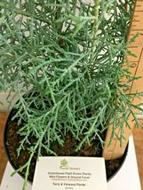 Carolina Sapphire Cypress tree gallon pot image 4