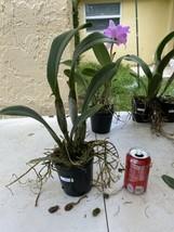 Blc. Mahina Yahiro 'Julie'. CATTLEYA Orchid Plant Pot BLOOMING SIZE 0506 G image 2