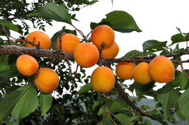 Mandchurian Apricot Prunus armeniaca mandshurica, 5 Tree Seeds (Fast,Fall Color) - $10.99