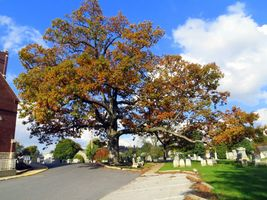 White Oak Tree-(quercus alba) image 7
