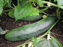 SHIPPED From US,PREMIUM SEED:50 Particles of Cucumber Marketmore76,Hand-... - $20.99
