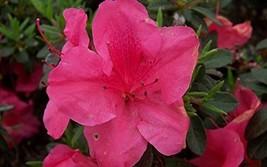 1 Starter Plant of Autumn Carnival Encore Azalea - 2 Gallon - $108.84