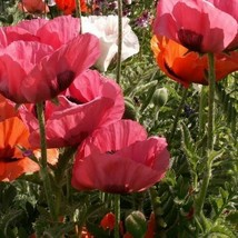 SHIP FROM USA Poppy Oriental Mix Flower Seeds (Papaver Orientale) 1600+Seeds UDS - $38.21