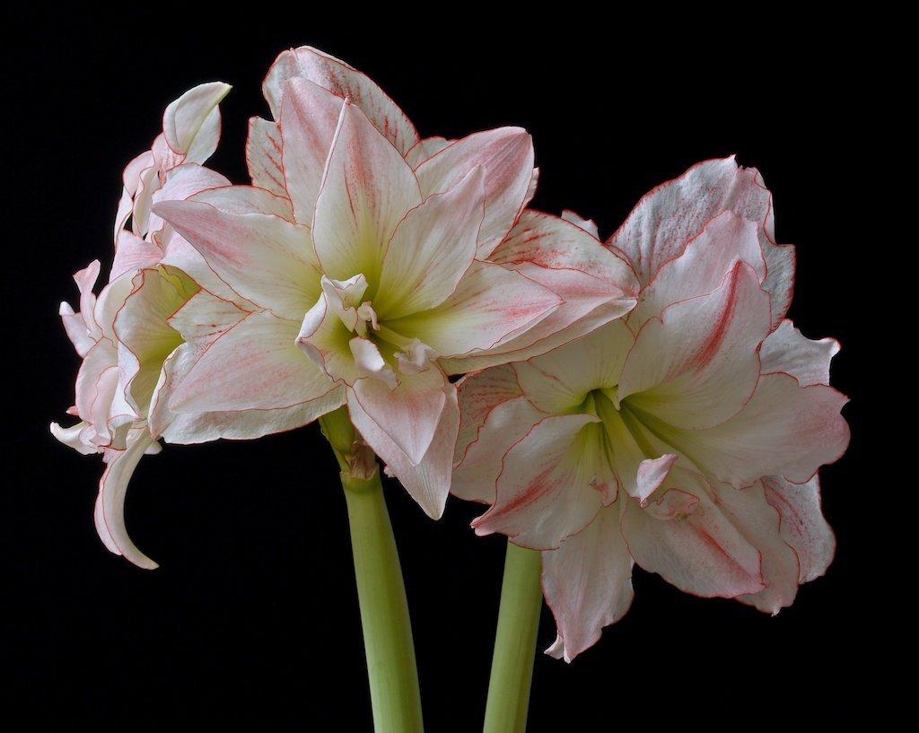 "HS Garden - 2 Pcs Amaryllis Hippeastrum ""Aphrodite"" Flower Bulbs"