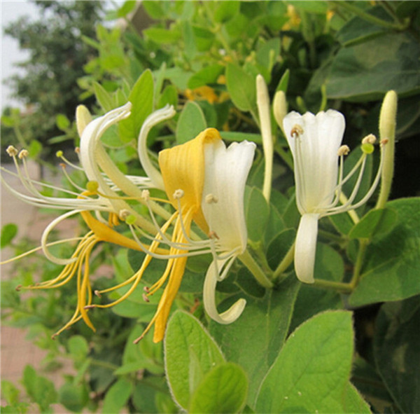 Japanese honeysuckle vine lonicera japonica seeds fast fragrant flower seed