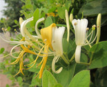 Japanese honeysuckle vine lonicera japonica seeds fast fragrant flower seed thumb155 crop