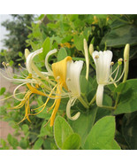 Japanese Honeysuckle Vine, Lonicera Japonica, Seeds (Fast, Fragrant) Flo... - $2.47
