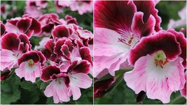 171 – 20 Bi Color Pink Geranium Seeds Perennial Flowers Seed Flower – RR01 - $21.95