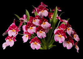 Milt. Breathless 'Beauty' Cattleya Orchid Plant 2.5 Inch Pot  - $38.25