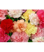 SHIPPED FROM US 400+CARNATION CHABAUD MIX Flower 8 COLORS Seeds, CB08 - $17.00