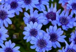50 Pcs Seeds Heterophlla Kingfisher Daisy Felicia The Blues Flower - DL - $16.00