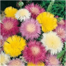 Sweet sultan imperialis mix 50 fresh seeds amberboa moschata - $3.33