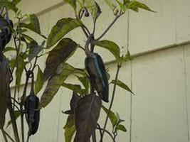 5 Mayan Black Pepper Seeds-1247 - $3.98