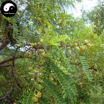 Buy Phyllanthi Fruit Tree Seeds 120pcs Plant Phyllanthus Tree For Fruit ... - $15.99