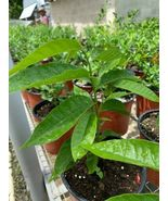 SHIP FROM US Custard apple Live Exotic Fruit Tree TPE3 - $138.80