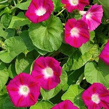 Non GMO Bulk Morning Glory, Scarlet O'Hara Flower Seeds (50 Lbs) - $1,921.54