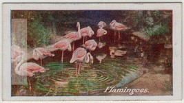Floaming Tall  Pink Wading Birds 1930s Trade Ad Card - $8.09