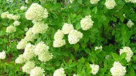 LIMELIGHT Hydrangea shrub PP#12874 image 2