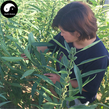 Buy Sesamum Indicum Seeds 1200pcs Plant Chinese White Sesame Seed Bai Zh... - $15.99
