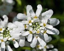 Candytuft, Tall Mix, 50+,Beautiful Pink, Lavender, White Flowers. - $4.00