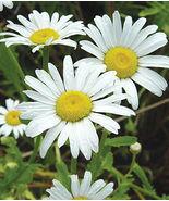 Shasta Daisy Live Plant Leucanthemum superbum - $19.50