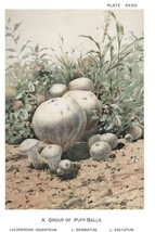 W. Hamilton Gibson: Puff Balls - Harper Publishers - 1895 - $12.82+