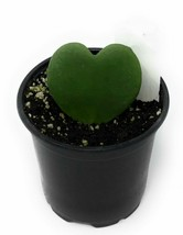"1 Heart Hoya Kerrii Green - Live Plant in 4"" Pot #TFPN16 - $34.99"